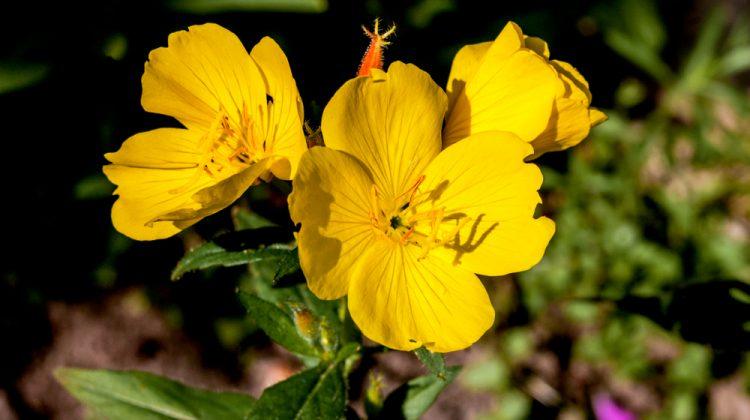 Óleo de Onagra – 7 Benefícios para o bem-estar feminino